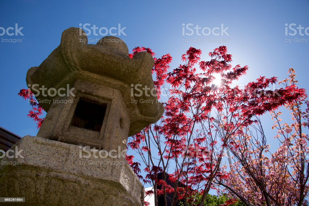 Japanese maple in spring royalty-free stock photo