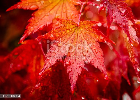 An orange and red maple leaf in autumn