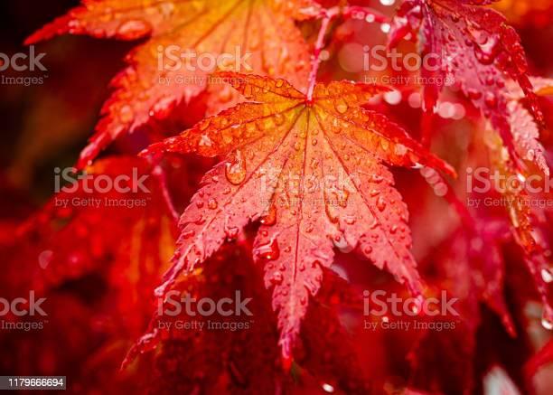 Photo of Japanese Maple leaf in autumn rain