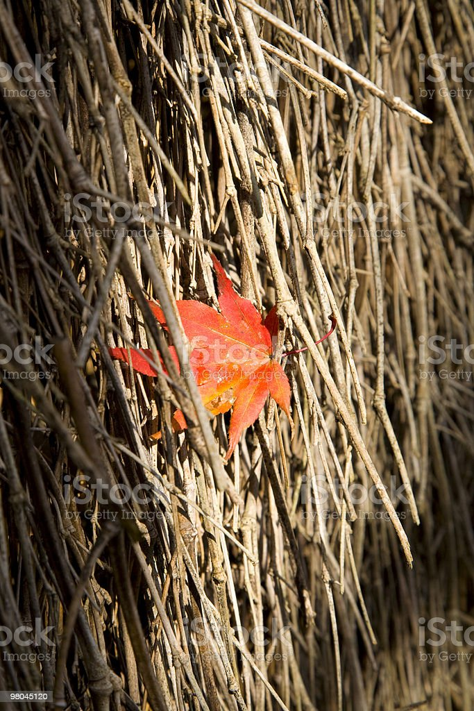 japanese maple leaf on a bamboo royalty-free stock photo