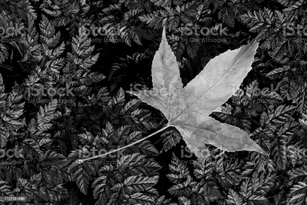 Japanese Maple Leaf on Mossy Fern Background, black and white stock photo