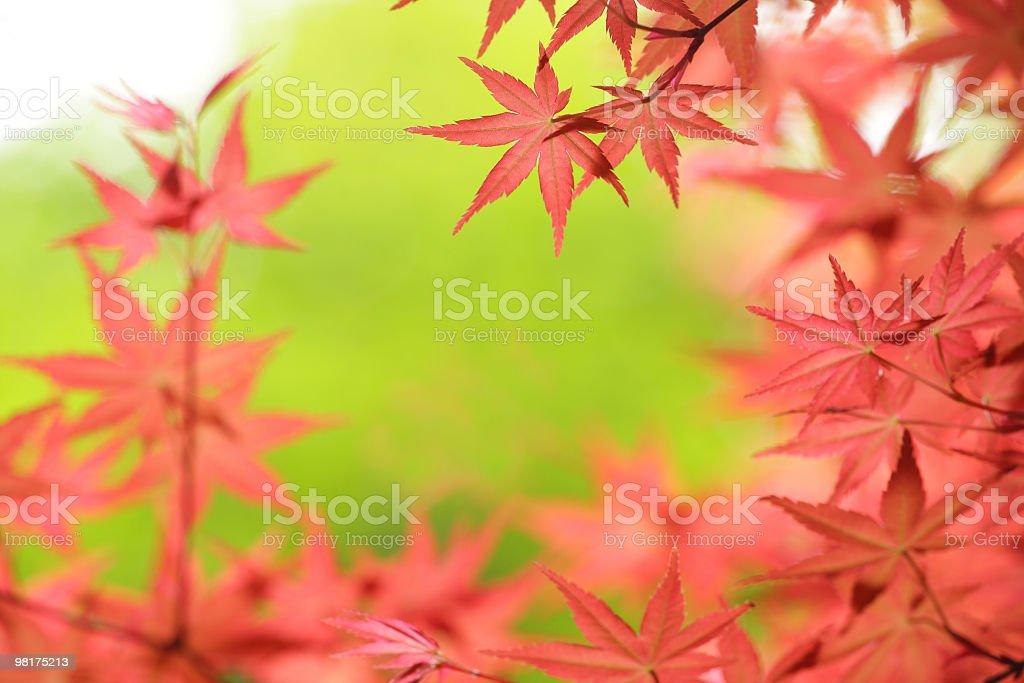 Foglia di acero giapponese foto stock royalty-free