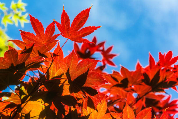 Japanese Maple Leaves against a blue sky, backlit with sunlight, copy space, no people. Fall Autumn background image. stock photo