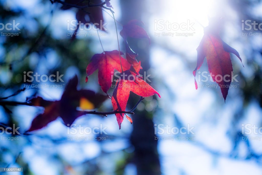 Japanese Maple Leaves backlit with blue sky and sunlight stock photo