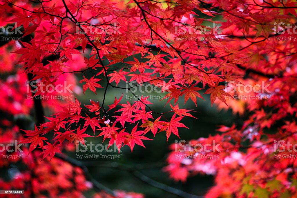 Japanese maple leaves in autumn stock photo