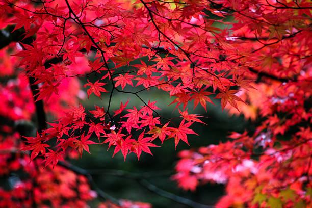 Japanische Ahorn Blätter im Herbst – Foto