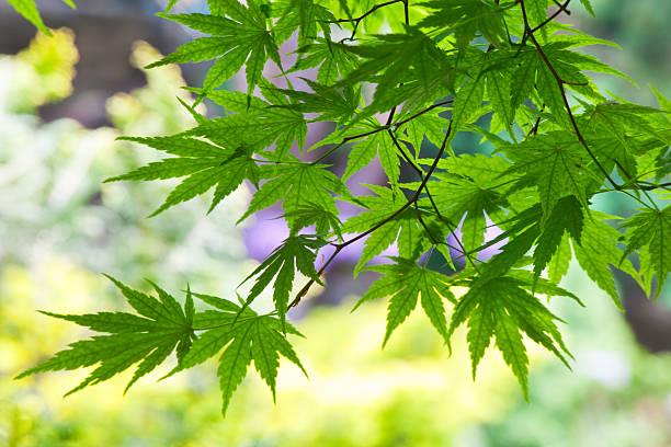 японский клен листья в саду - rbg стоковые фото и изображения