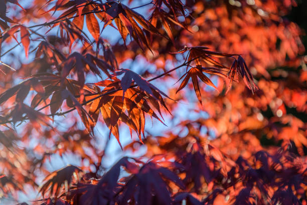 Japanese Maple leaves in the sun on a spring day stock photo
