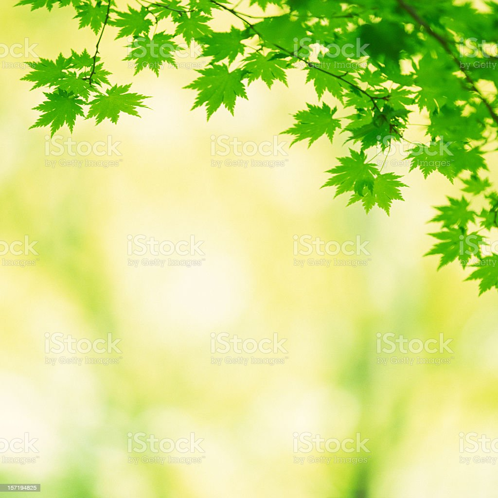Japanese Maple Leaves royalty-free stock photo