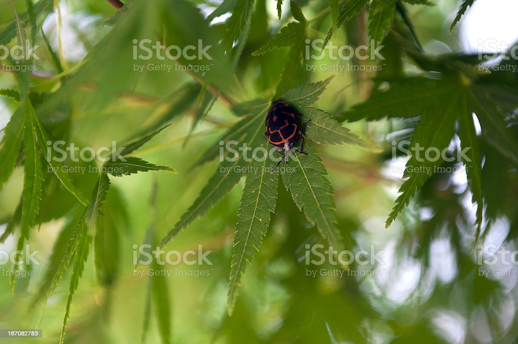 Japanese Maple Leaves stock photo