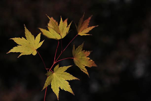 Japanese maple leaves. stock photo