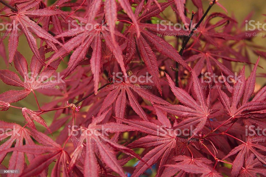Japanese Maple leaves royalty-free stock photo