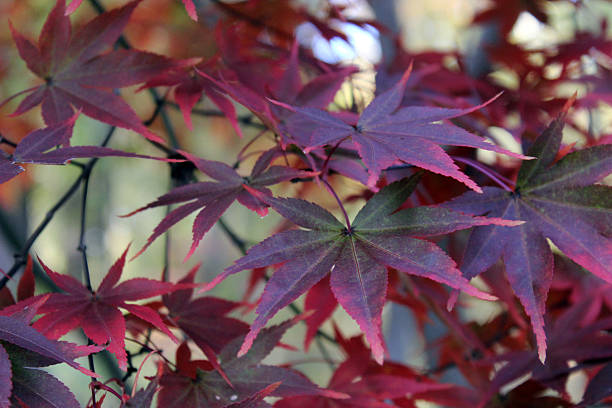 japanese maple leaves turning red in autumn - pam schodt stock photos and pictures