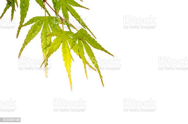 Photo of Japanese maple leaves with dew drops