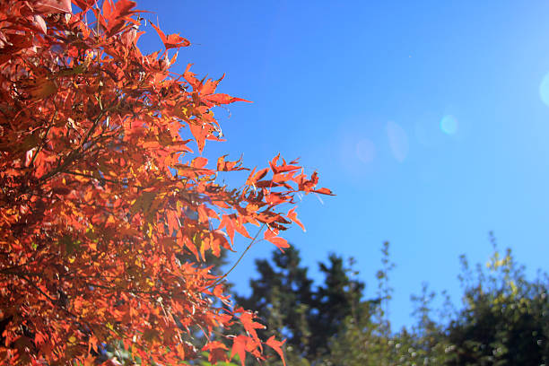 Japanese Maple Leaves with Lens Flare stock photo