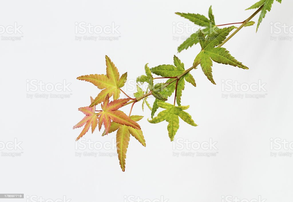 Japanese maple of the early fall royalty-free stock photo