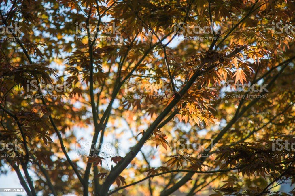 Japanischer Ahorn Baum Hintergrund Lizenzfreies stock-foto