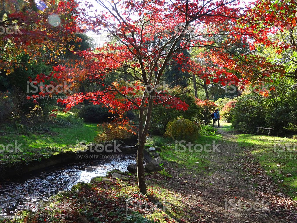 Japanese Maple Tree Fall Red Autumn Leaves Stream Stock Photo More