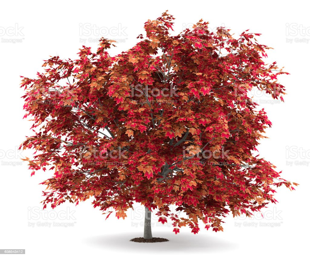 japanese maple tree isolated on white background stock photo
