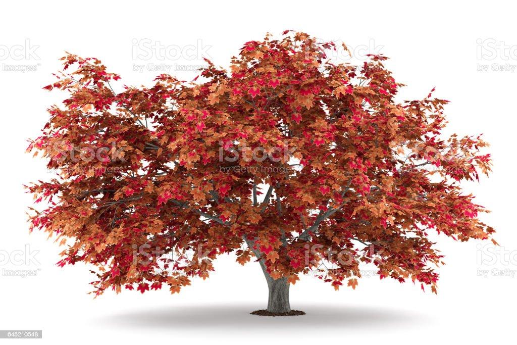 japanese maple tree isolated on white background stock photo