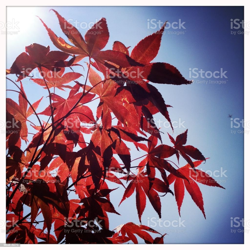 Japanese maple tree leaves royalty-free stock photo