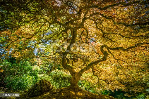 Summer, Japanese Garden, Portland - Oregon, USA, Japanese Maple