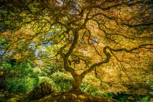 Arce japonés Tree  - foto de stock