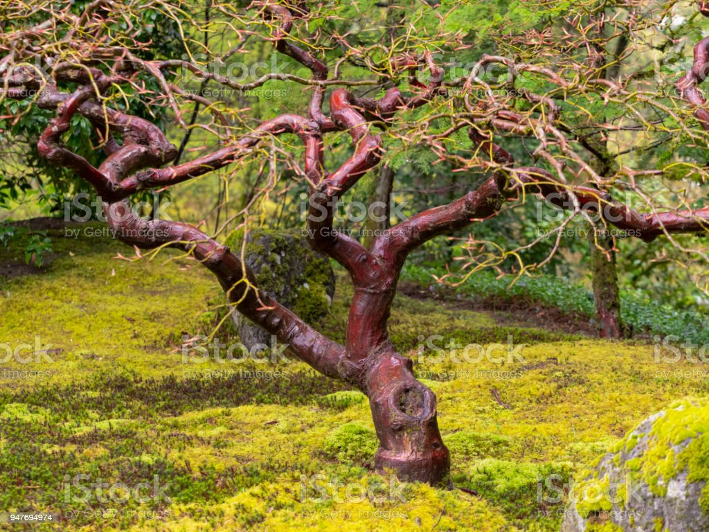 Japanese Maple Tree Trunk in Springtime Japanese Garden Portland Oregon stock photo