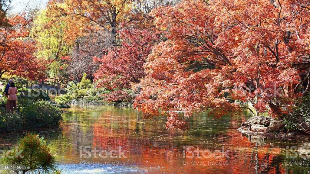 Japanese Maple Trees. stock photo