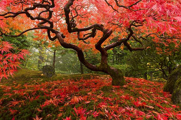fächerahorn mit herbstfarben - japanischer garten stock-fotos und bilder