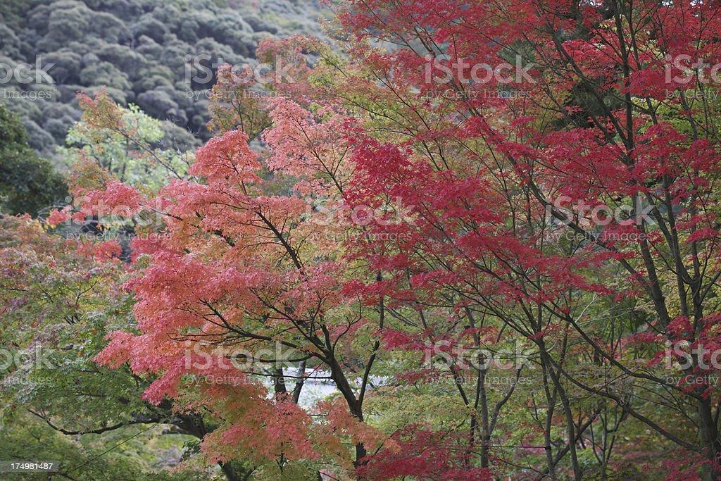 Japanese Maples, Fall Foliage near Philosopher's Walk in Kyoto, Japan royalty-free stock photo