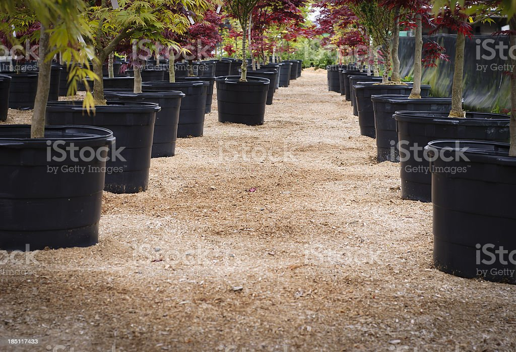 Japanese Maples stock photo