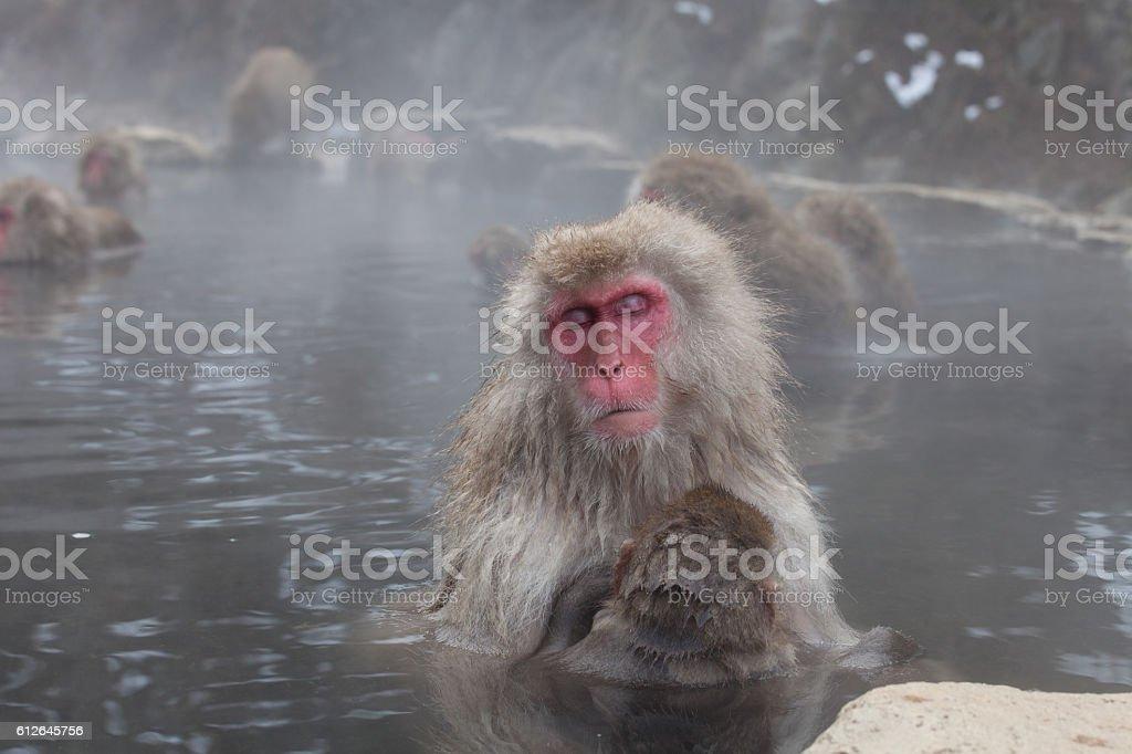Japanese Monkey in Onsen stock photo