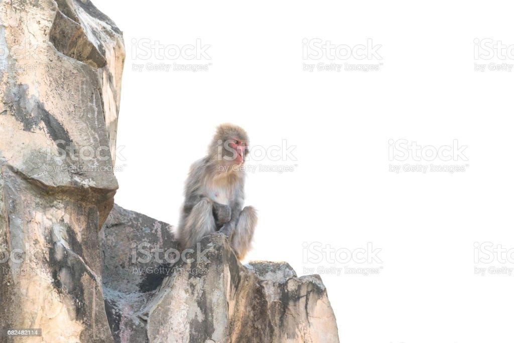 Japanese monkey royalty-free stock photo