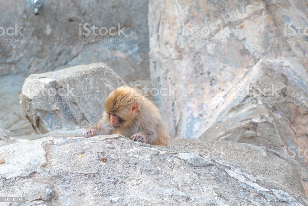Japanese monkey royalty-free stock photo