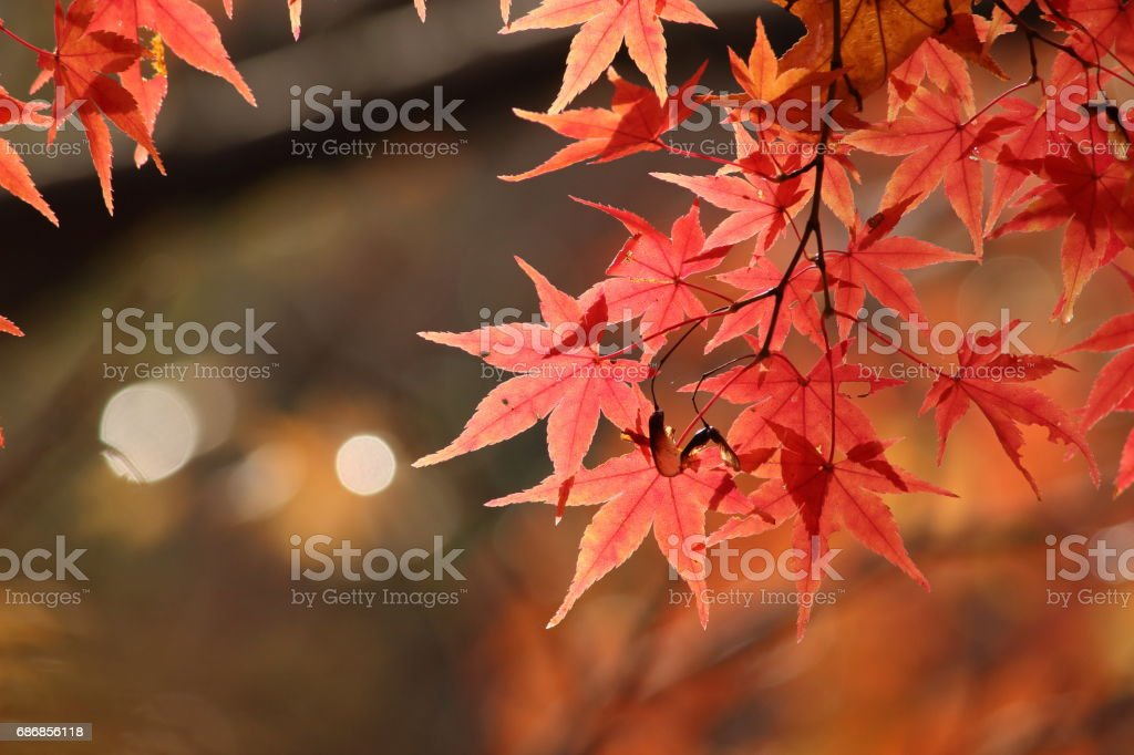 Japanese name, Irohamomiji Part 24 stock photo