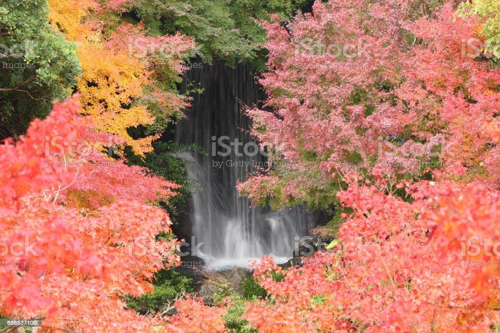 Japanese name, Irohamomiji Part 32 stock photo