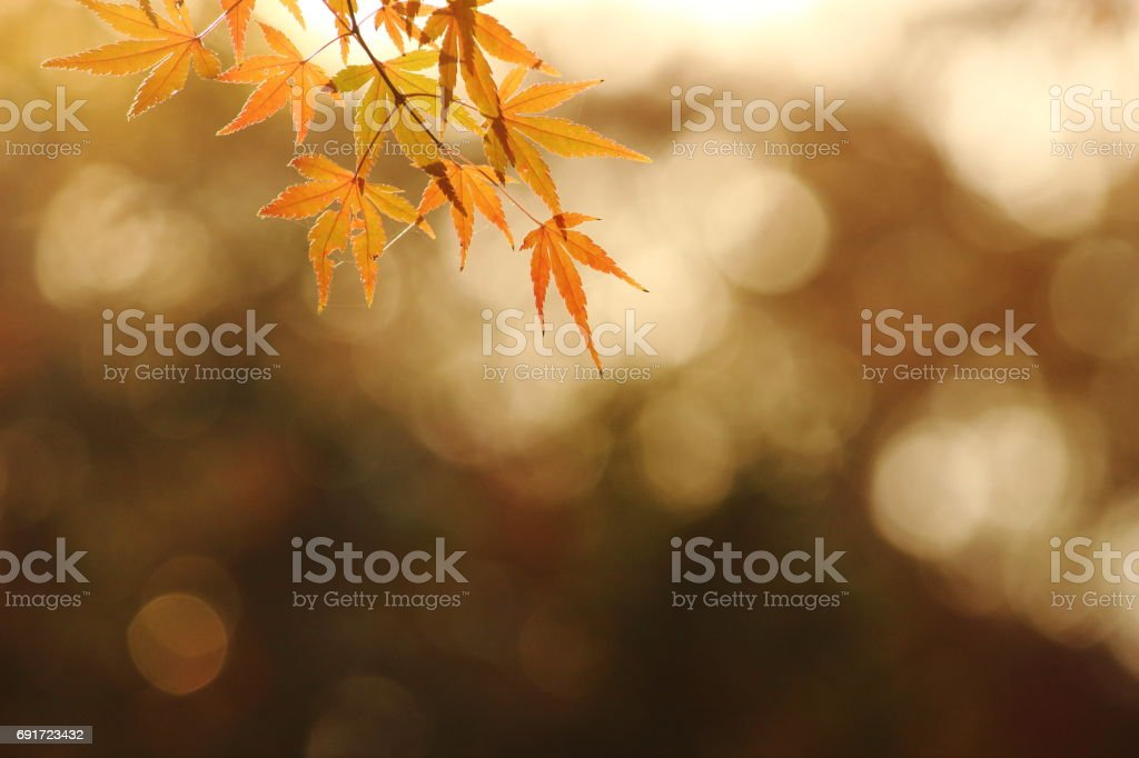Japanese name, Irohamomiji Part 39 stock photo