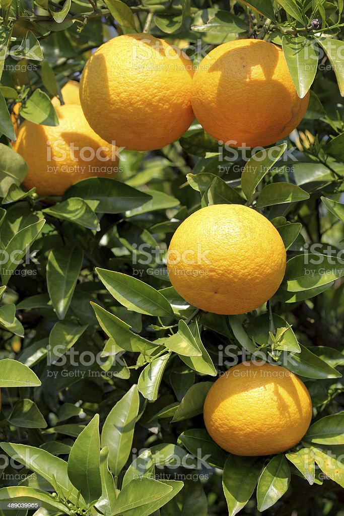Japanese orange fruit stock photo