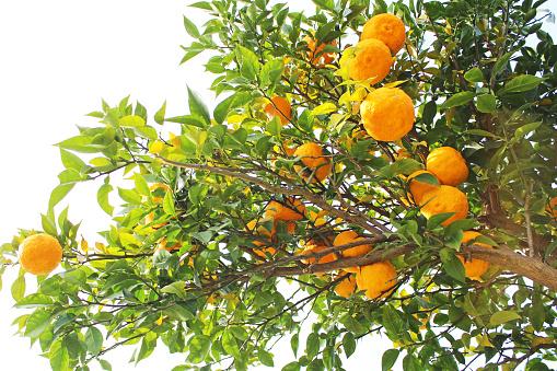 japanese organic mandarin orange tree
