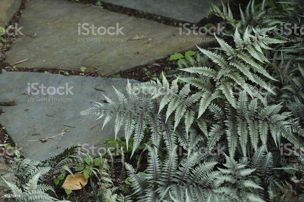 Japanese painted fern, Athyrium nipponicum royalty-free stock photo