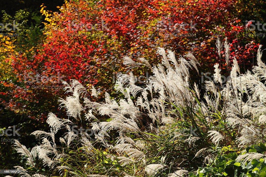 日本パンパス芝生と色の葉 ストックフォト