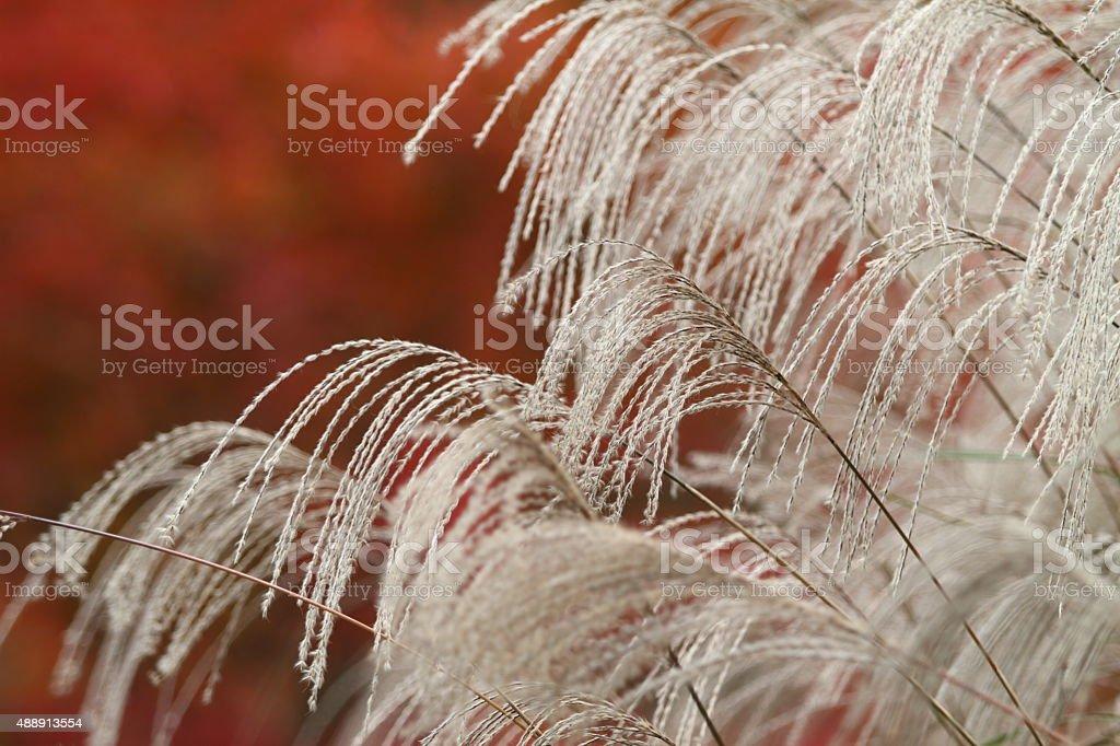 日本パンパス芝生と色の葉 ロイヤリティフリーストックフォト