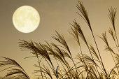 日本パンパス芝生と満月