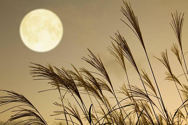 japanische pampas gras und full moon - chinaschilf stock-fotos und bilder
