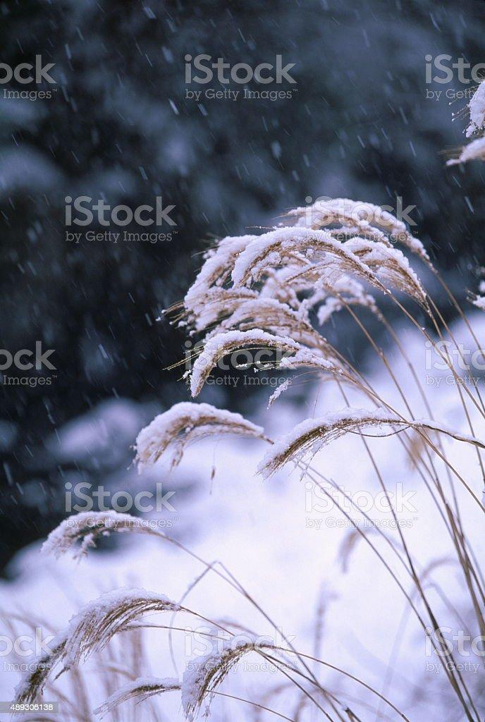 日本のパンパス芝生と雪 ストックフォト