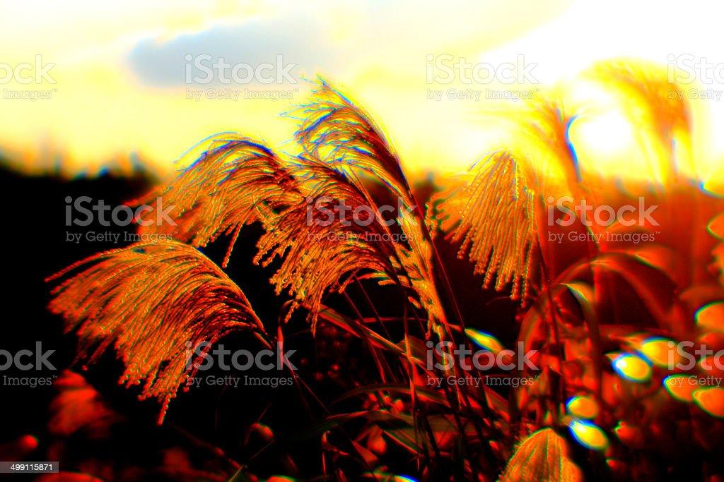 日本パンパス芝生と、サンセット ストックフォト