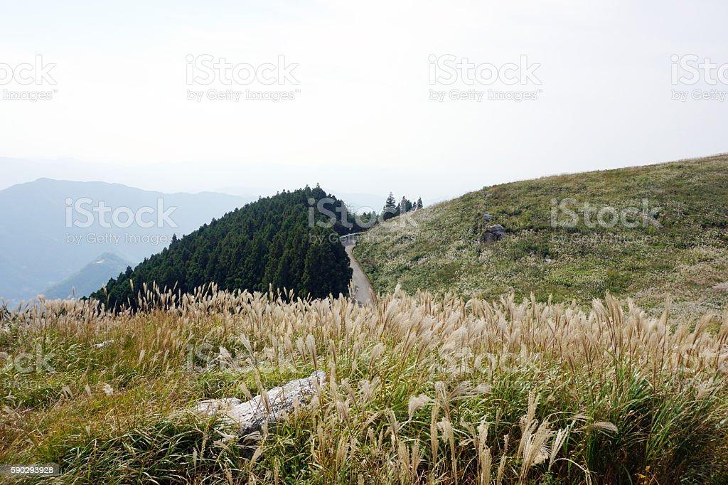 Japanese pampas grass at Oishi-kogen Highland,Wakayama Japan royaltyfri bildbanksbilder