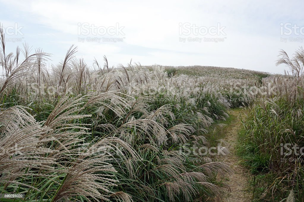 Japanese pampas grass at Oishi-kogen Highland,Wakayama Japan Стоковые фото Стоковая фотография