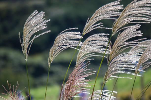 japanisches pampagras (susuki rasen, miscanthus sinensis) im wind - chinaschilf stock-fotos und bilder